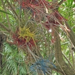 ColoredTillandsia